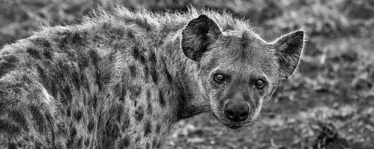 Hyena Staring at You